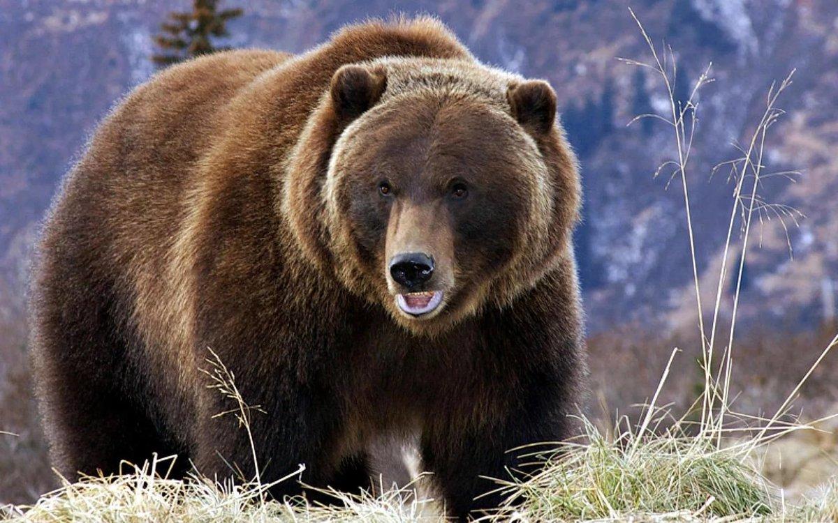картинки медведей в высоком качестве