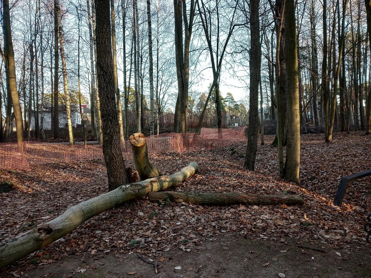 """фото ЗакС политика Жители МО """"Большая Охта"""" просят Беглова помешать вырубке деревьев в их районе"""