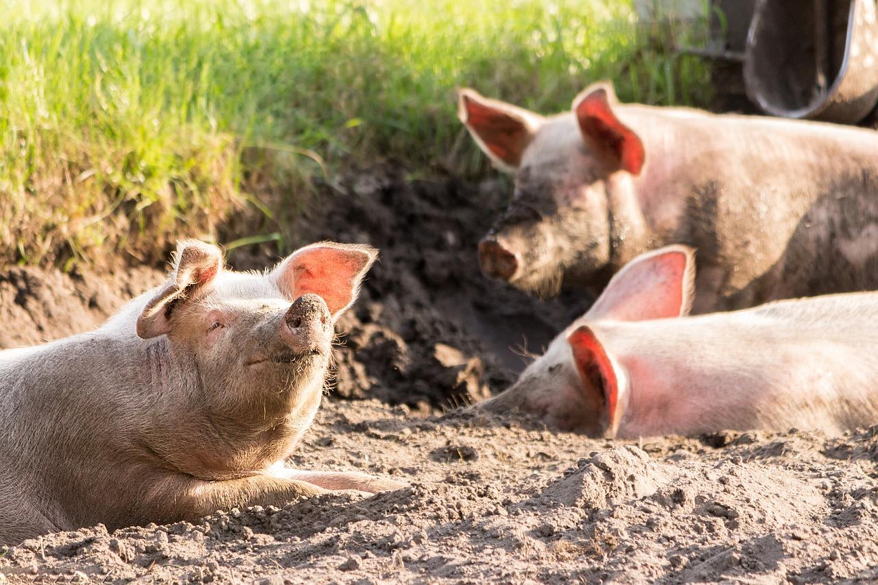 фото ЗакС политика В Коми зафиксировали вспышку африканской чумы свиней и ввели режим ЧС