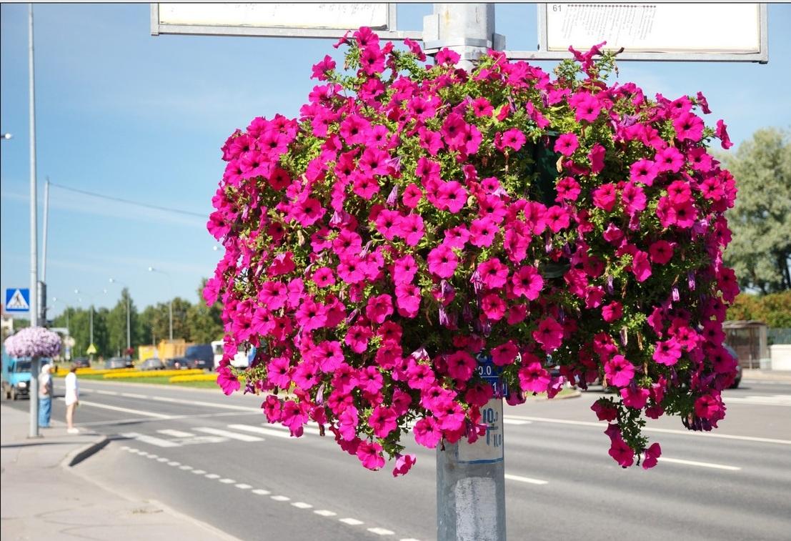фото ЗакС политика Ко Дню победы в Петербурге высадят более полумиллиона цветов