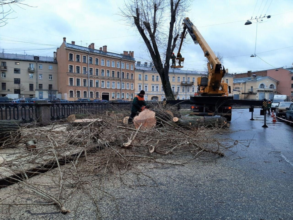 Эксперты признали оставшиеся на канале Грибоедова тополя жизнеспособными