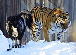фото ЗакС политика Умер сдружившийся с тигром Амуром козел Тимур