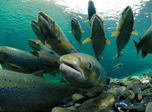 фото ЗакС политика Марина Ковтун возглавила организацию по сохранению лосося