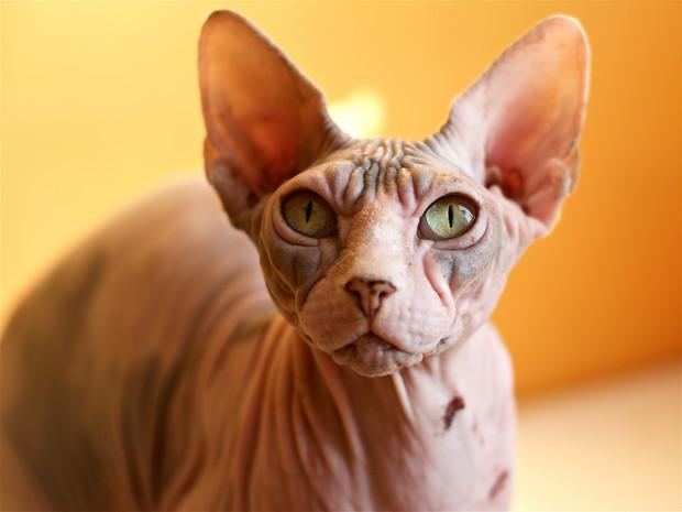 фото ЗакС политика В Петербурге предложили запретить татуировки для кошек
