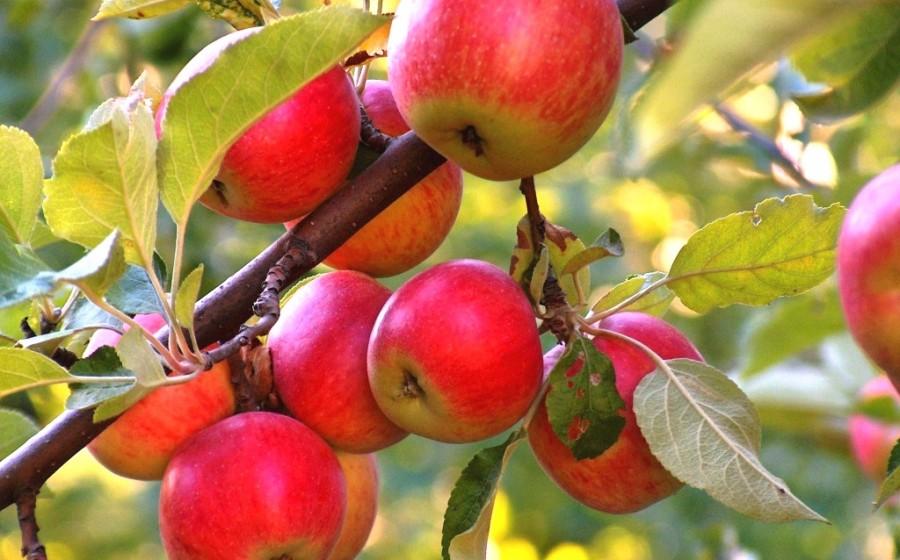 фото ЗакС политика УФАС волнует стремительный рост цен на яблоки в Петербурге