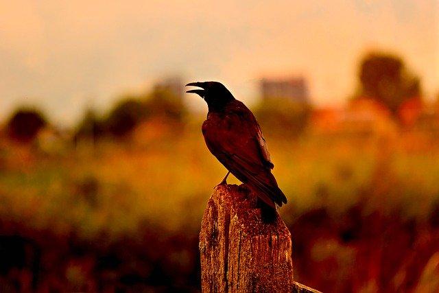 Правительство будет бороться с воронами на крыше с помощью ястребов и соколов
